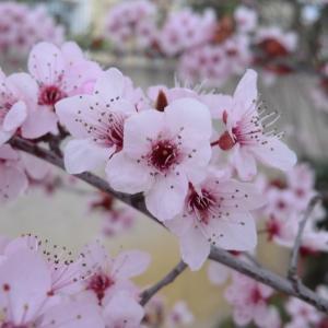 Photographie n°109439 du taxon Prunus cerasifera Ehrh.