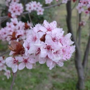 Photographie n°109440 du taxon Prunus cerasifera Ehrh.