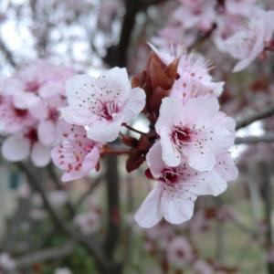 Photographie n°109441 du taxon Prunus cerasifera Ehrh.