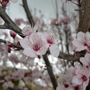 Photographie n°109442 du taxon Prunus cerasifera Ehrh.