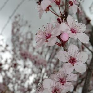 Photographie n°109443 du taxon Prunus cerasifera Ehrh.