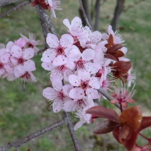 Photographie n°109444 du taxon Prunus cerasifera Ehrh.