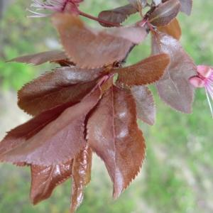 Photographie n°109445 du taxon Prunus cerasifera Ehrh.