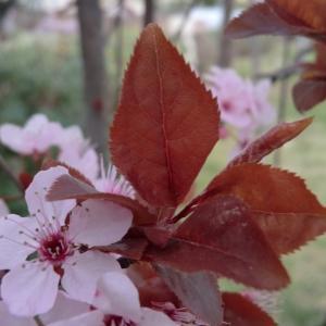 Photographie n°109446 du taxon Prunus cerasifera Ehrh.