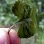 Emmanuel Stratmains - Viola riviniana Rchb.