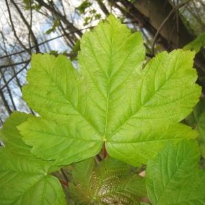 Photographie n°109469 du taxon Acer pseudoplatanus L.