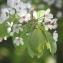 Hervé GOËAU - Prunus avium (L.) L.