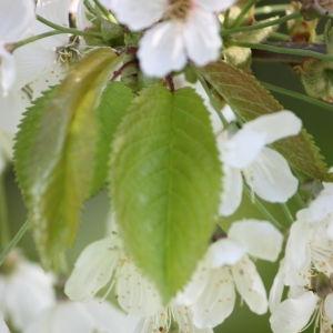 Photographie n°109520 du taxon Prunus avium (L.) L. [1755]