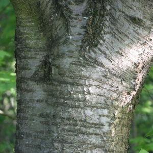 Photographie n°109522 du taxon Prunus avium (L.) L. [1755]