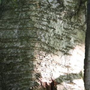 Photographie n°109523 du taxon Prunus avium (L.) L. [1755]