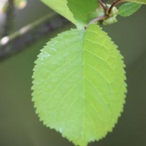 Photographie n°109524 du taxon Prunus avium (L.) L. [1755]