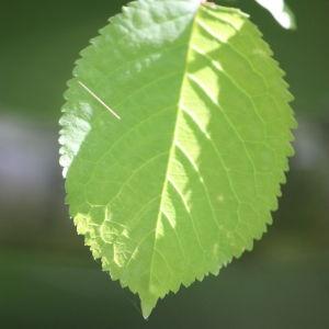 Photographie n°109525 du taxon Prunus avium (L.) L. [1755]