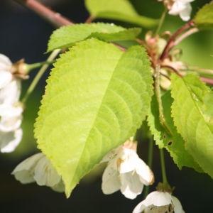 Photographie n°109526 du taxon Prunus avium (L.) L. [1755]
