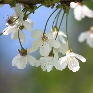 Photographie n°109527 du taxon Prunus avium (L.) L. [1755]