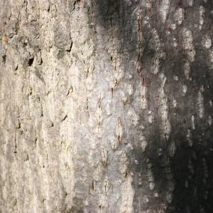Photographie n°109541 du taxon Tilia platyphyllos Scop. [1771]