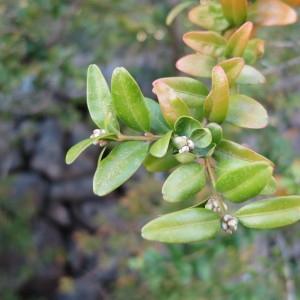 Photographie n°109652 du taxon Buxus sempervirens L. [1753]