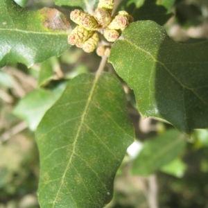 Photographie n°109815 du taxon Quercus ilex L. [1753]