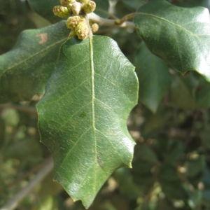 Photographie n°109818 du taxon Quercus ilex L. [1753]