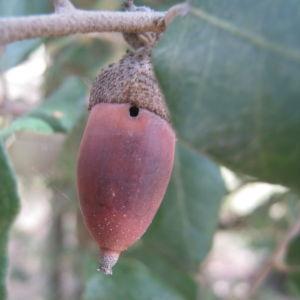 Photographie n°109819 du taxon Quercus ilex L. [1753]