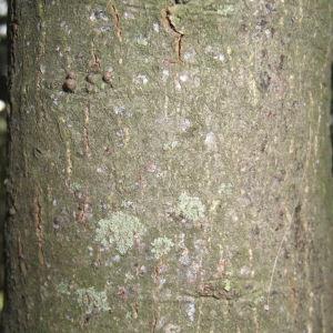 Photographie n°109820 du taxon Quercus ilex L. [1753]