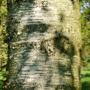 Photographie n°109886 du taxon Betula pubescens Ehrh. [1791]