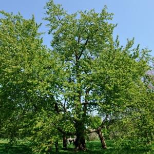 Photographie n°109889 du taxon Prunus avium (L.) L. [1755]