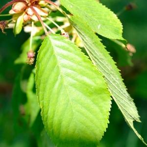 Photographie n°109890 du taxon Prunus avium (L.) L. [1755]