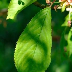 Photographie n°109891 du taxon Prunus avium (L.) L. [1755]