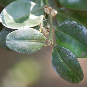 Photographie n°109923 du taxon Buxus sempervirens L. [1753]