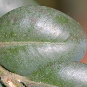 Photographie n°109927 du taxon Buxus sempervirens L. [1753]