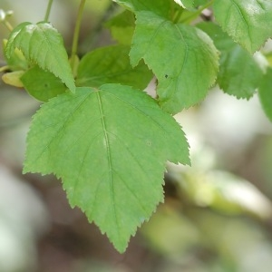 Photographie n°109962 du taxon Viburnum opulus L. [1753]