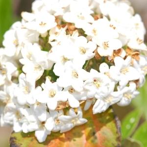 Photographie n°109968 du taxon Viburnum x burkwoodii Burkwood & Skipwith