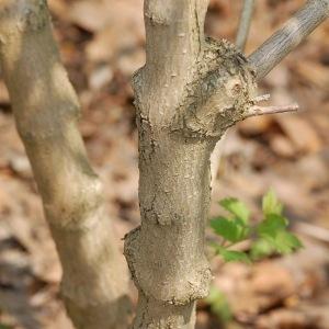 Photographie n°109973 du taxon Viburnum x burkwoodii Burkwood & Skipwith