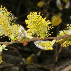 Salix cinerea L. (Saule cendré)