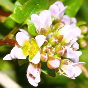 Cochlearia danica L. (Cochléaire du Danemark)