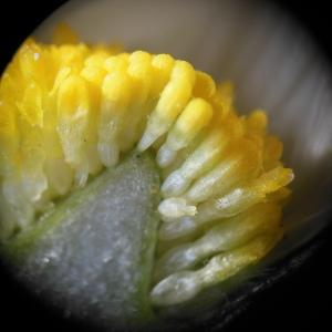 Photographie n°110048 du taxon Bellis perennis L.