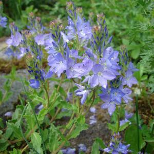 Photographie n°110065 du taxon Veronica austriaca L.