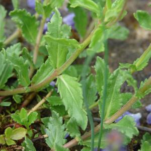 Photographie n°110066 du taxon Veronica austriaca L.