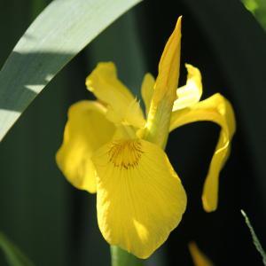 Iris pseudacorus L. (Iris des marais)