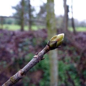 Photographie n°110150 du taxon Acer pseudoplatanus L.