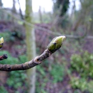 Photographie n°110151 du taxon Acer pseudoplatanus L.