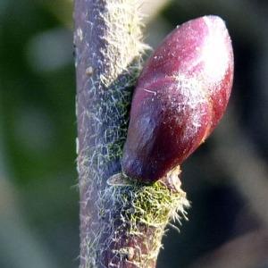 Photographie n°110166 du taxon Tilia platyphyllos Scop. [1771]