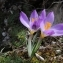 FREDERIC DEPALLE - Crocus versicolor Ker Gawl.