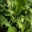 Florent Beck - Allium ursinum L. [1753]