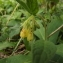 Florent Beck - Symphytum tuberosum subsp. tuberosum