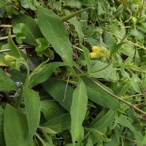 Photographie n°110283 du taxon Symphytum tuberosum subsp. tuberosum
