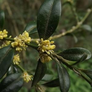 Photographie n°110291 du taxon Buxus sempervirens L. [1753]