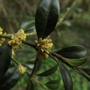 Photographie n°110292 du taxon Buxus sempervirens L. [1753]