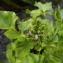 Florent Beck - Cardamine raphanifolia subsp. raphanifolia