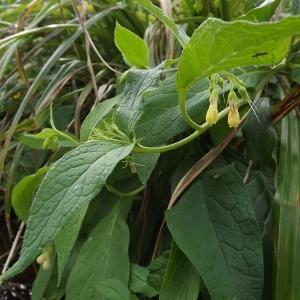 - Symphytum tuberosum subsp. tuberosum